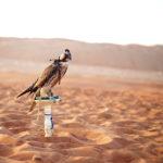 Abu Dhabi: Falcons